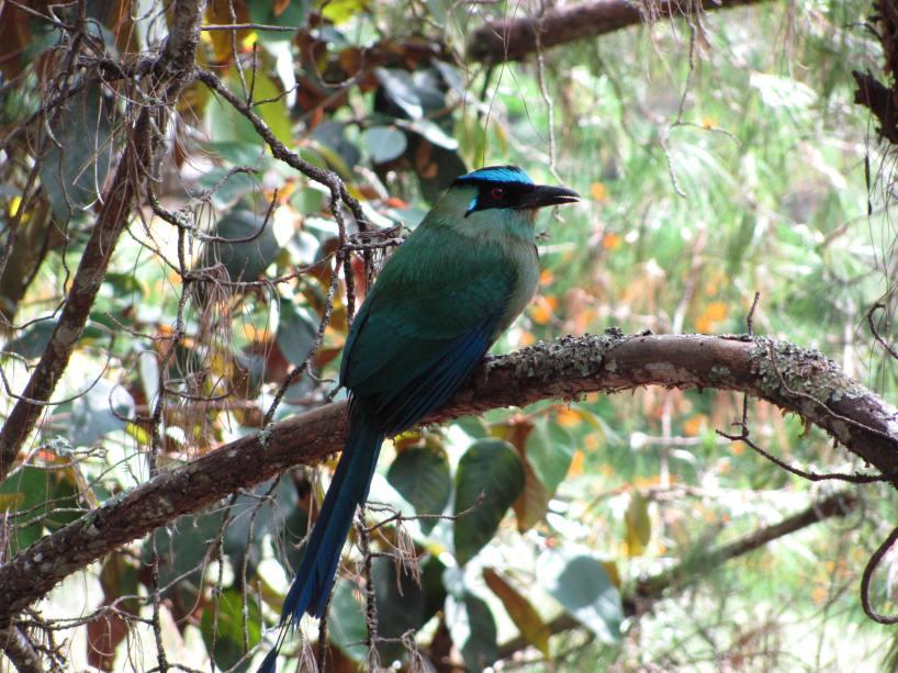 Barranquero que se posa en los arboles del Parque Corregimiento de Santa Elena - Medellín - Antioquia. Foto David Medina