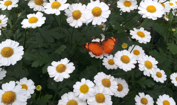 Flores y mariposas en el recinto del pensamiento. Manizales - Caldas. Foto: David Medina