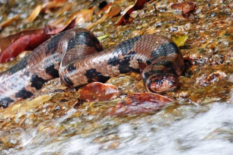 Anaconda en Caño Lapa - Parque Nacional Natural El Tuparro - Vichada. Foto: David Medina