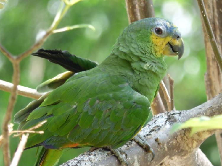 Loro en la Isla Santa Helena - Río Orinoco - Vichada. Foto: David Medina