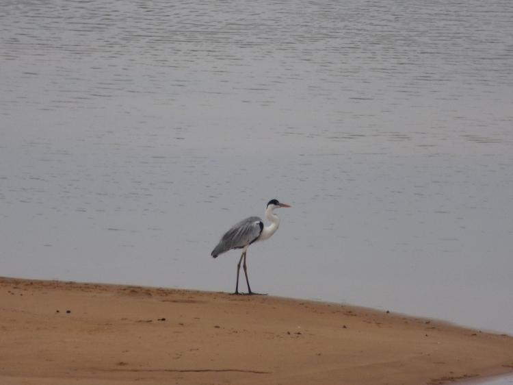 Garzón Azul sobre las playas del río Bita - Vichada. Foto: David Medina