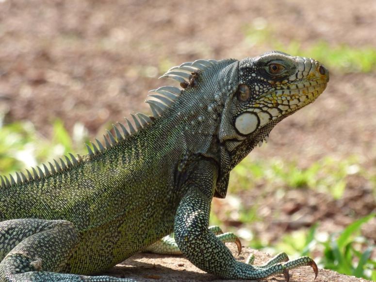 Iguana - Puerto Carreño - Vichada. Foto: David Medina