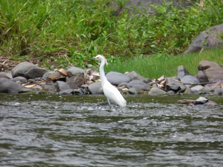 Aves en el río La Vieja. Foto: David Medina