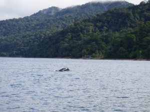 Delfines en Bahía Solano - Chocó. Foto: David Medina