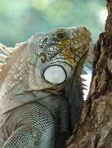 Iguanas en Puerto Carreño - Vichada. Foto: David Medina