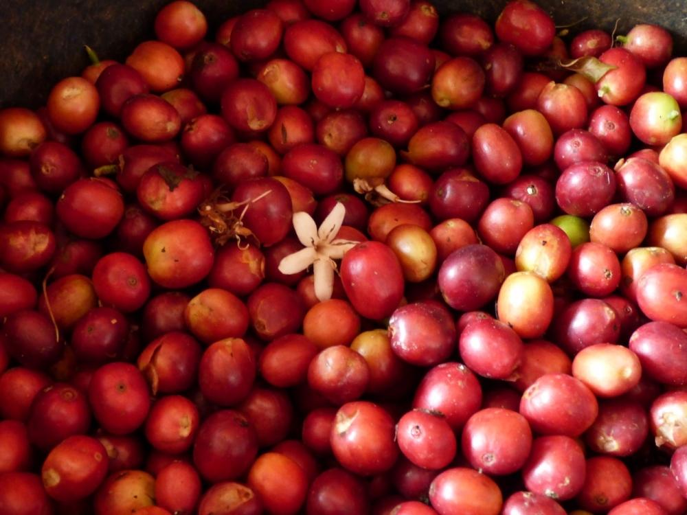 Café Don Leo después de la recolección. Pijao - Quindío. Foto: David Medina